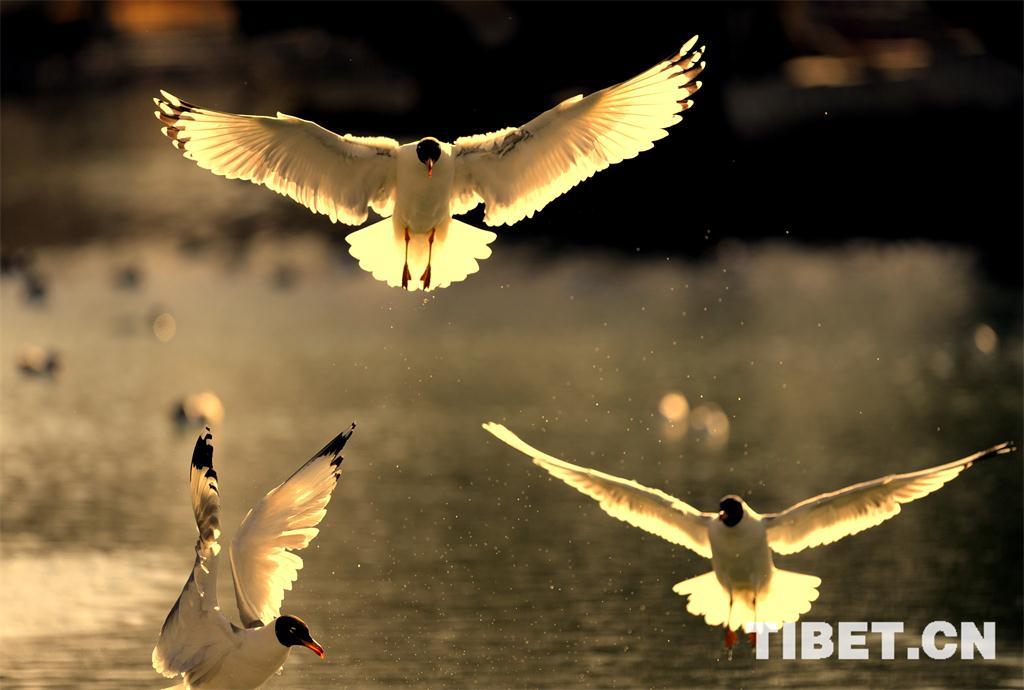031-030-055-西藏-普布扎西-宗角祿康公園內的水鳥2(1).jpg